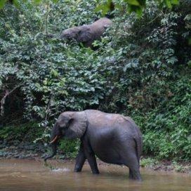 Congo Elephants Conkouati